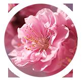 Sakura-150x150-circle