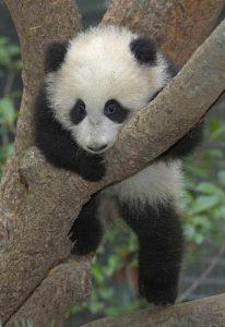 panda_in_tree